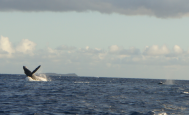 Whale Breaching in Front of Molokini